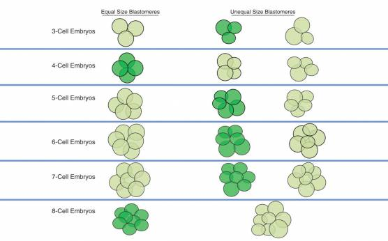 <p><strong>Diagram 2</strong></p><p>A diagram illustrating the concept of stage-specific versus non-stage-specific cleavage patterns. The dark green color indicates stage-specific cleavage stage embryos, whereas the light green color indicates non-stage-specific cleavage stage embryos.</p>